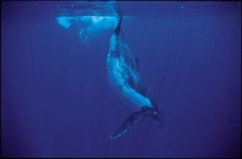 Tra le balene nelle