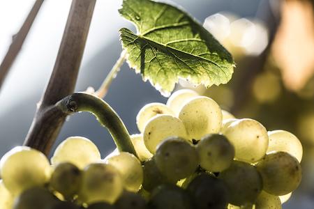 vitigno uva